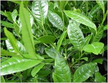 ワキガ対策成分 緑茶