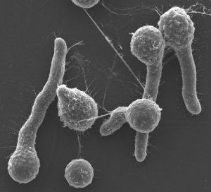 真菌 一時的 繁殖