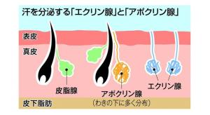 アポクリン腺 量 遺伝